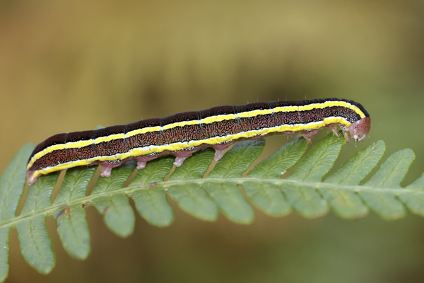 mna-cilcain-broom-moth-caterpillar1