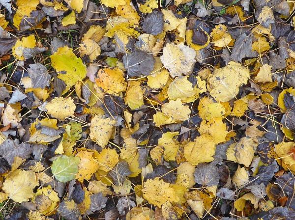 40-bpark-grey-poplar-leaves
