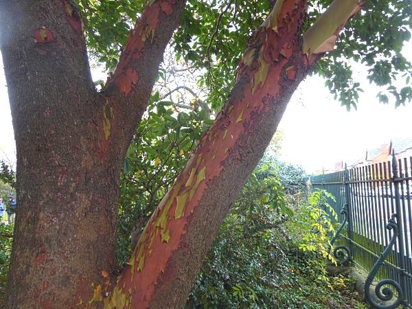 40-bpark-hybrid-strawberry-bark