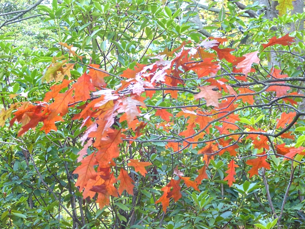 40-bpark-scarlet-oak