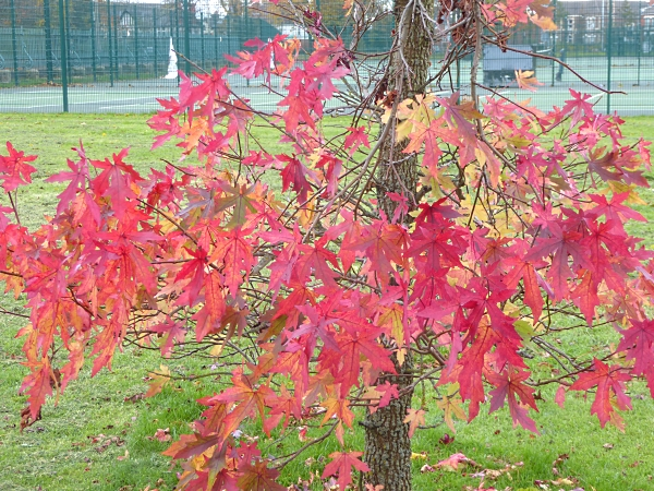 40-bpark-red-maple-leaves