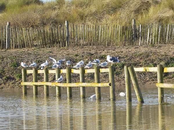 41-freshfield-gulls-on-fence