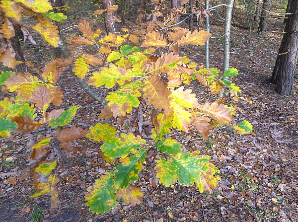 41-freshfield-oak-leaves