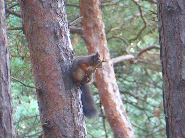 41-freshfield-red-squirrel