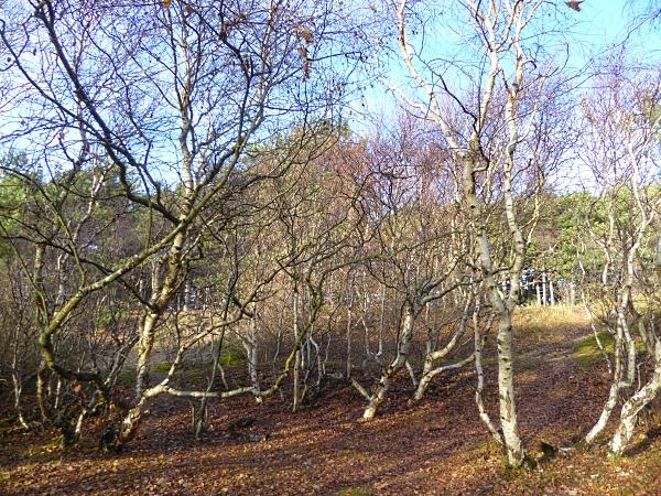 41-freshfield-twisted-birch