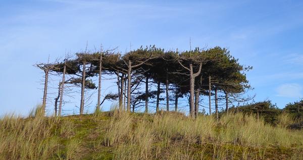 41-freshfield-windswept-scots-pines