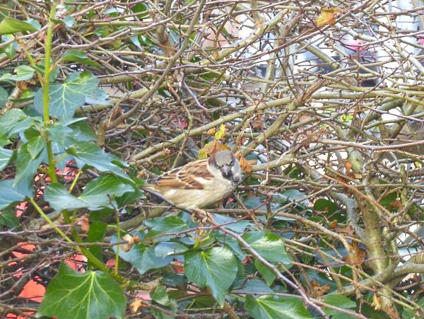 42-wway-cock-sparrow