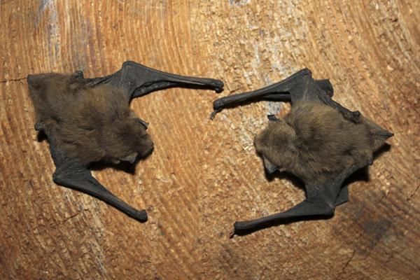 mna-leighton-moss-pipistrelle1