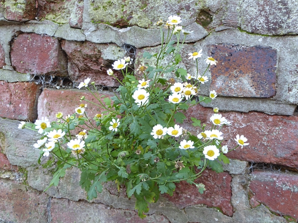 43-chester-feverfew
