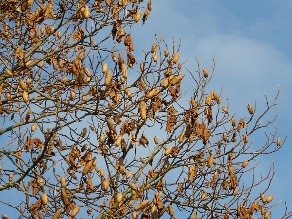 43-chester-tulip-tree-cones