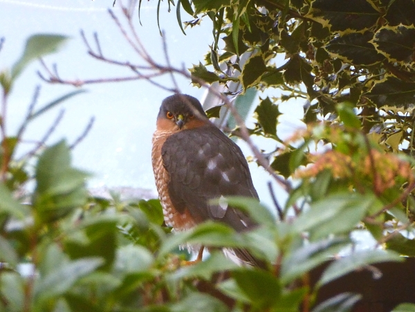44-croxteth-sparrowhawk