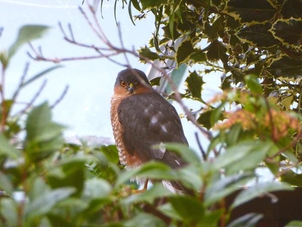 44-croxteth-sparrowhawk