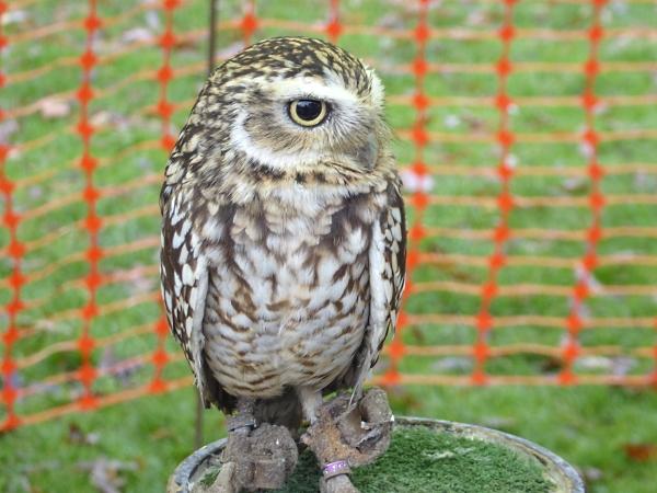 44-croxteth-burrowing-owl